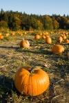 A shot of pumpkins on the farm